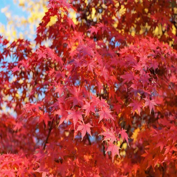 L' Acer palmatum è una pianta decidua che cresce come arbusto o piccolo albero | Vivailazzaro.it
