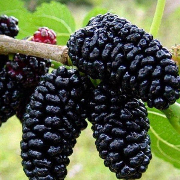 Gelso nero è un albero vigoroso di elevata produttività con frutti medio piccoli | Vivailazzaro.it