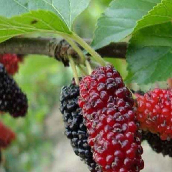 Gelso rosso è una pianta vigorosa a portamento espanso | Vivailazzaro.it