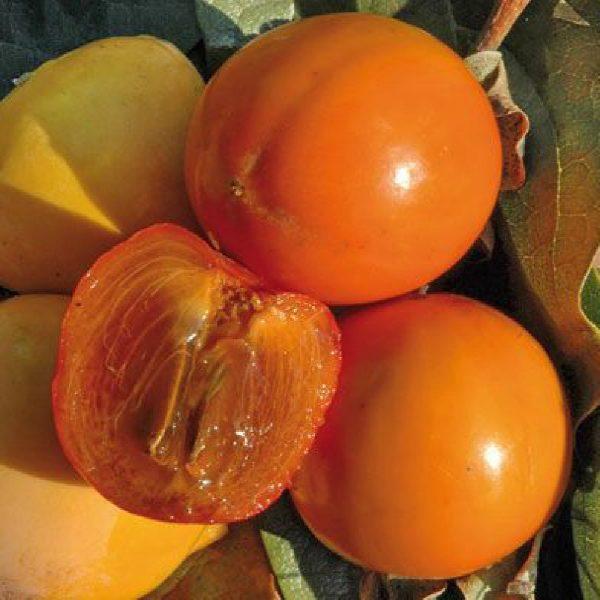 Caco cioccolatino produce frutti di pezzatura medio-piccola | vivailazzaro.it