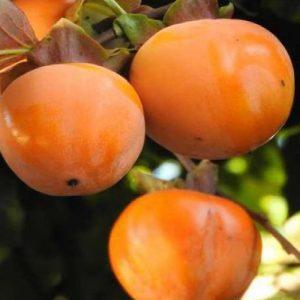 Caco Vaniglia è un albero di media vigoria, capace di sopravvivere a basse temperature | Vivailazzaro.it