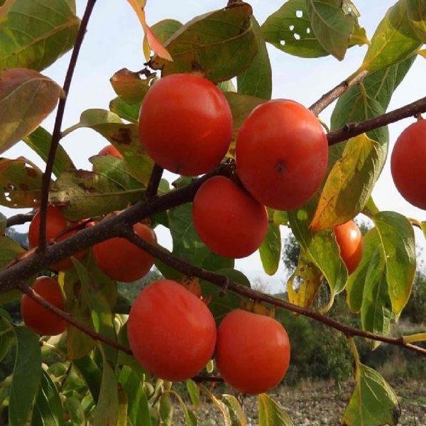 Caco tipo è un albero di vigoria media elevata ed abbastanza produttivo | Vivailazzaro.it