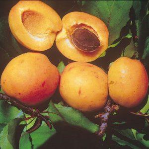 Reale d'Imola presenta frutti cuoriformi di calibro medio – grosso | Vivailazzaro.it