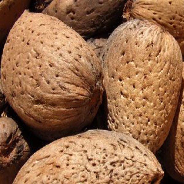 Mandorlo guscio duro è un albero vigoroso a portamento espanso di elevata produttività | Vivailazzaro.it