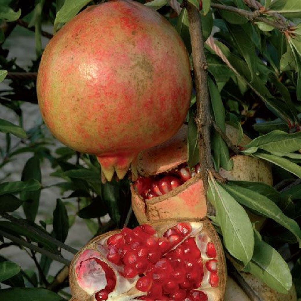 Melograno dente di cavallo è un albero presente sia a cespuglio che ad alberello | Vivailazaro.it