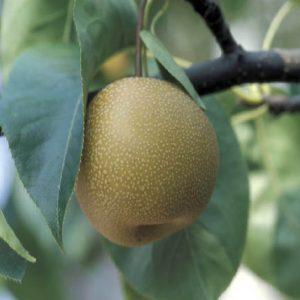 Nashi Housui è una albero vigoroso a portamento espanso, molto produttivo   Vivailazzaro.it
