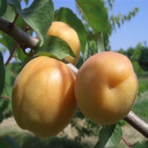 L'Albicocco San Castrese si adatta bene ai vari ambienti di coltivazione. | Vivailazzaro.it