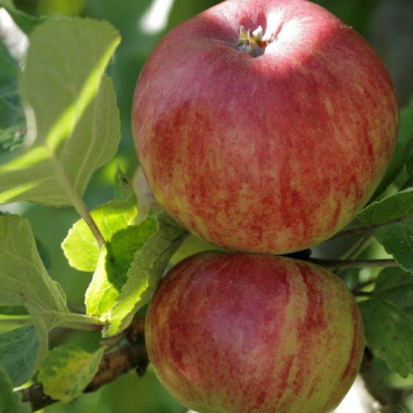 Melo Decio è una cultivar molto antica e diffusa soprattutto nella pianura padana   Vivailazzaro.it
