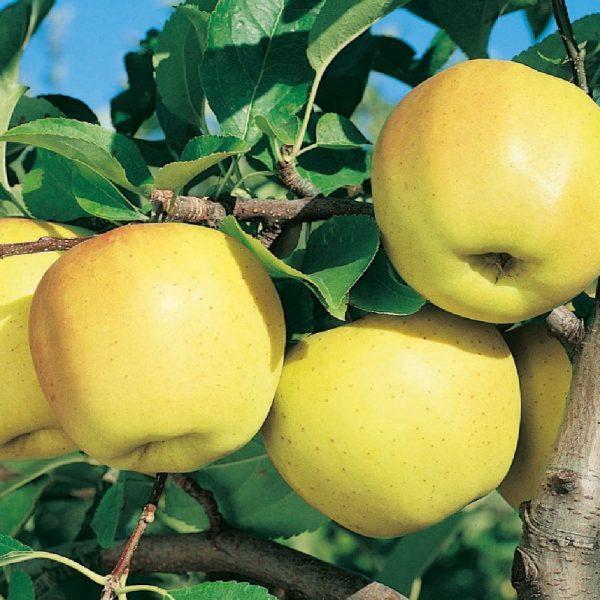 Melo golden Delicious è caratterizzato da una produttività elevata | Vivailazzaro.it