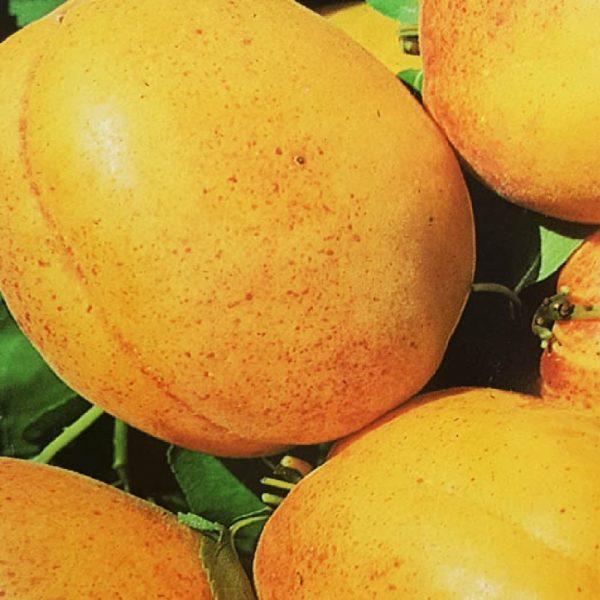 L'Albicocco Bulida è un albero che produce frutti grossi di forma sferica | Vivailazzaro.it