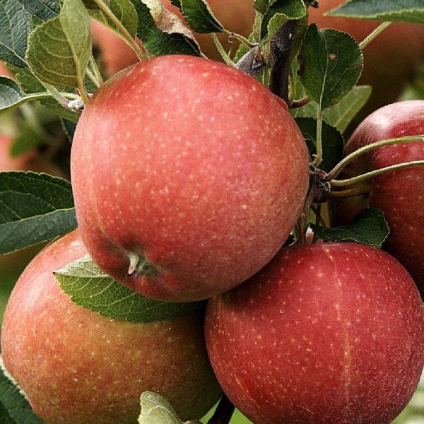 Melo Fuji produce frutti dalla polpa leggermente acidula   Vivailazzaro.it