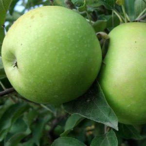 Melo Granny Smith è un albero la cui entrata in produzione è abbastanza rapida   Vivailazzaro.it