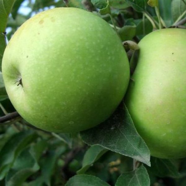 Melo Granny Smith è un albero la cui entrata in produzione è abbastanza rapida | Vivailazzaro.it