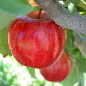 Melo Imperatore produce frutti ai pezzatura notevole, di forma sferoidale   Vivailazzaro.it