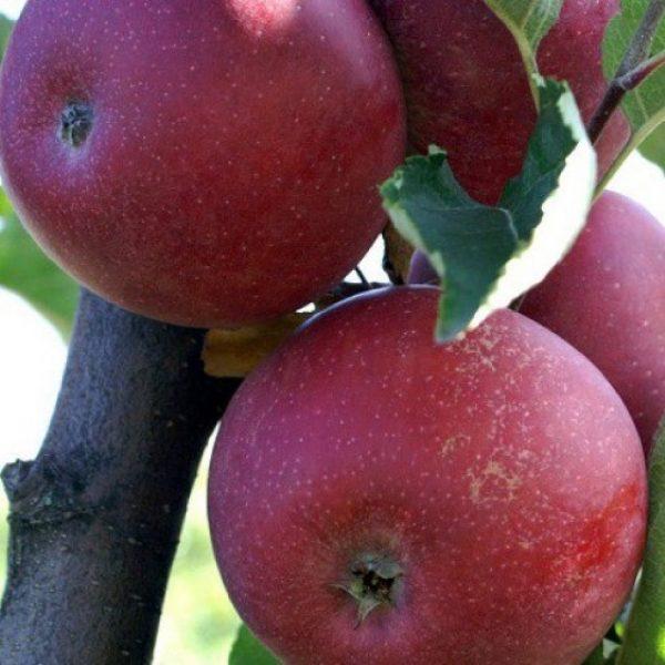 Melo Stayman Red produce frutti di ottime caratteristiche gustative | Vivailazzaro.it