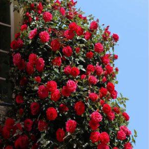 New York rosa rampicante con fiori dalle tonalità intense | Vivailazzaro.it