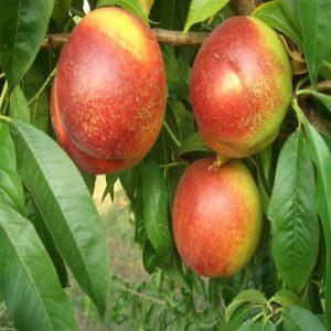 Pesco noce Orion è un albero particolarmente rusticomolto resistente alle malattie fungine | Vivailazzaro.it