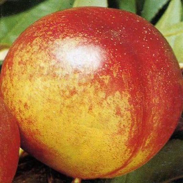 Pesco noce Fairlane è un albero vigoroso ad elevata produzione | Vivailazzaro.it