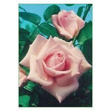Rosa a cespuglio  Papa Giovanni XXIII con grandi fiori pascali rosa | Vivailazzaro.it