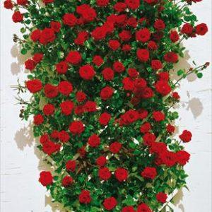 Rose rampicanti - Climbing rosebushes