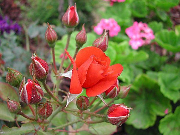 Red Pinocchio a cespuglio con rose a mazzidi grandezza media | Vivailazzaro.it