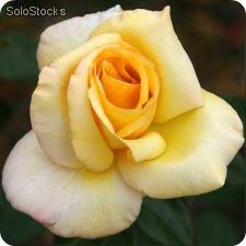 Rosa Barbara rosaio dalle grandi dimensioni con fiori grandi | Vivailazzaro.it