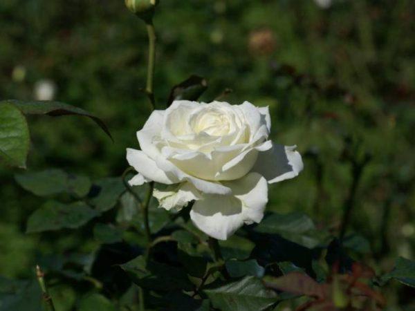 Mount Shasta pianta a cespuglio con fiori grandi bianchi molto rifiorente | Vivailazzaro.it