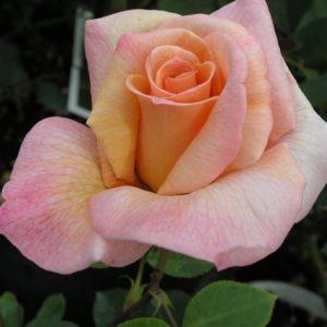 Rosa Michele è un rosaio di grandi dimensioni con fiori dal salmone al pesca | Vivailazzaro.it