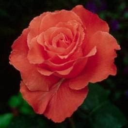 Rosa Duca di Windsor grandiflora rifiorente. Pianta a cespuglio con fiori grandi | Vivailazzaro.it