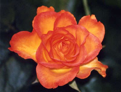 Rosa a cespuglio Kronen di grandi dimensioni, molto rustica | Vivailazzaro.it