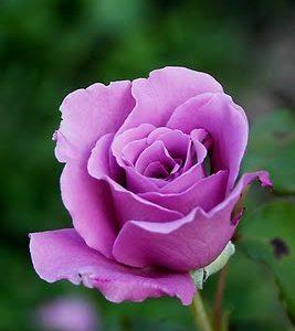Rosa grandiflora rifiorente Eminence intensamente profumata | Vivailazzaro.it