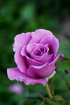 Rosa grandiflora rifiorente Eminence intensamente profumata   Vivailazzaro.it