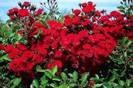 Rosaio in miniatura Scarlet dai fiori rosso acceso brillante | Vivailazzaro.it