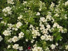 Rosaio in miniatura Evita dai fiori piccoli e bianchi | Vivailazzaro.it