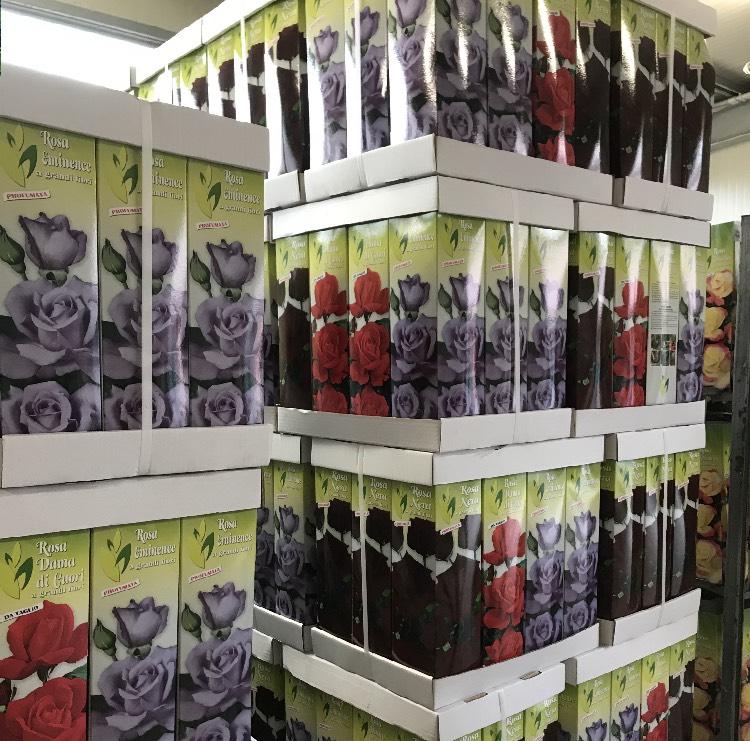 Vendita online di rosai in confezione | Vivailazzaro.it