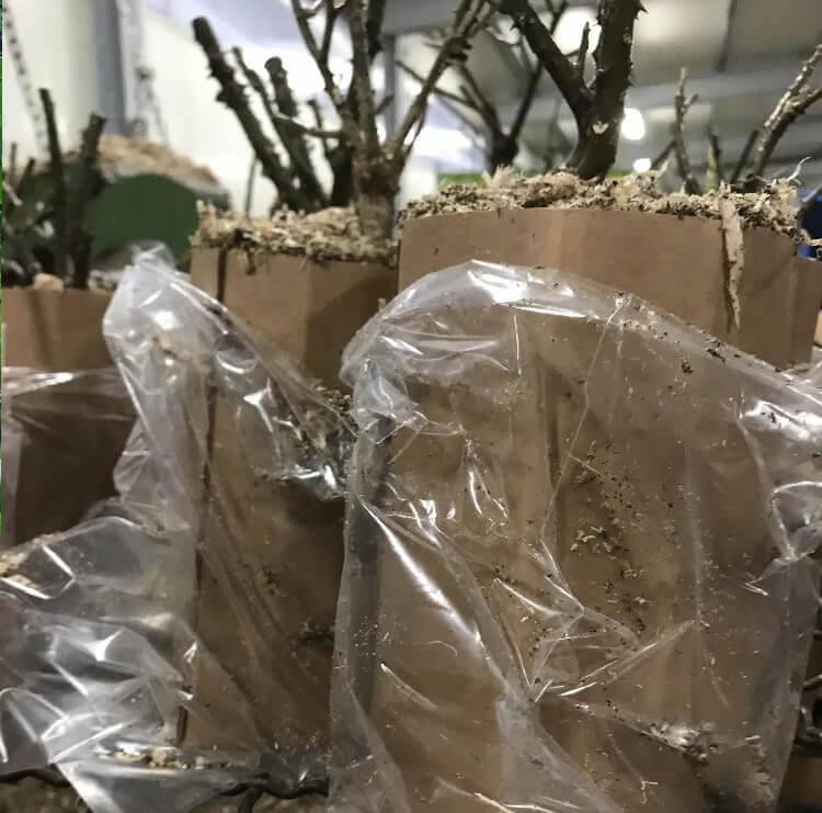Vendita online di arbusti da fiore in scatole biodegradabili | Vivailazzaro.it