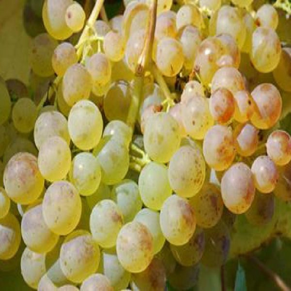 Uva Ecologica Francese Bianca varietà con grappolo e acini medio-grandi | Vivailazzaro.it