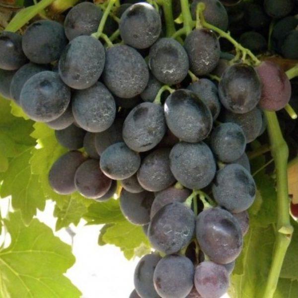 Produzione e vendita di viti Michele Palieri | Vivailazzaro.it