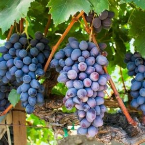 La Vite Apirena Nera produce grappoli grandi senza semi | Vivailazzaro.it