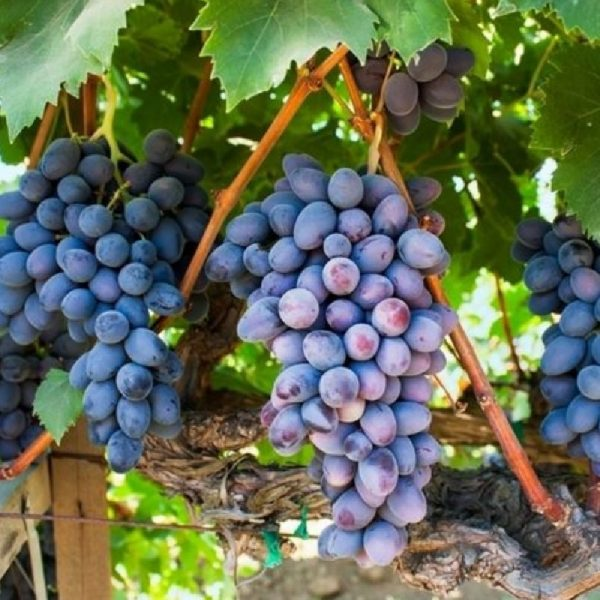 La Vite Apirena Nera produce grappoli grandi senza semi   Vivailazzaro.it