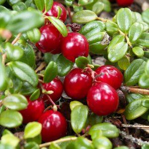 Arbusto da frutta vigoroso Mirtillo Rosso | Vivailazzaro.it