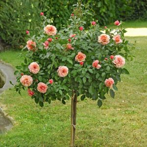 Rose ad alberello - Umbrella rosebushes