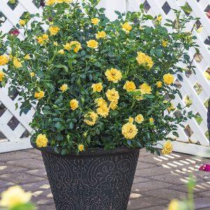Rosai miniatura - Rosebushes miniature
