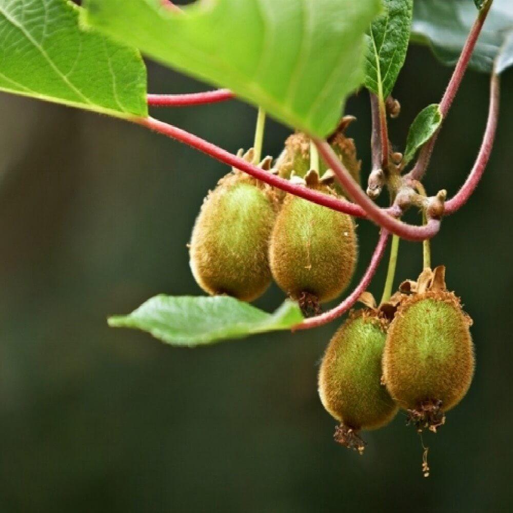 Kiwi Hayward femmina è la miglior cultivar in commercio   Vivailazzaro.it