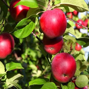 Apple - Malus communis