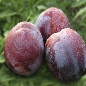 Susino - Prunus domestica o Salicina