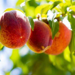 Pesco - Prunus persicae