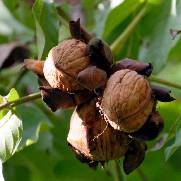 Noce Regia è un albero vigoroso dal portamento maestoso | Vivailazzaro.it