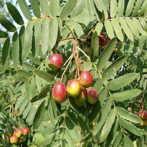 Sorbo - Sorbus domestica