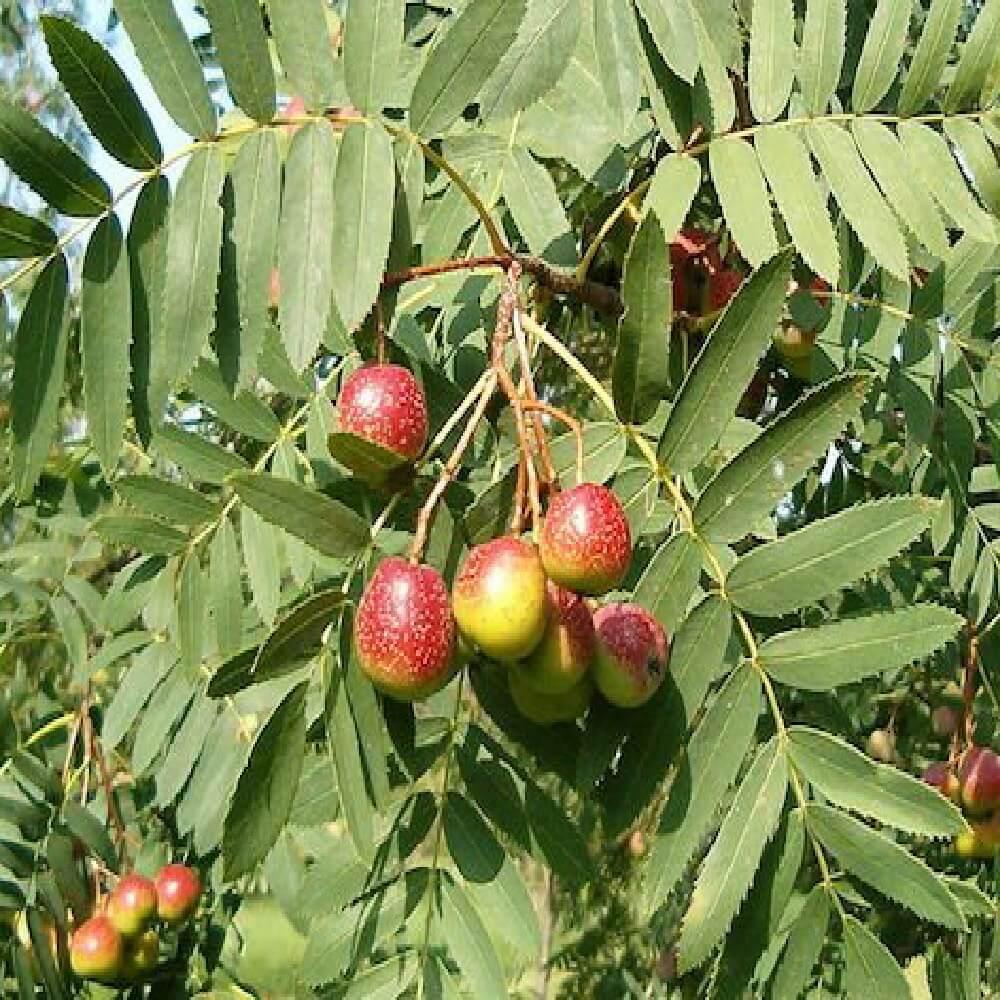 Sorbo Domestica è un albero da frutto dall'elevato valore ornamentale tipico del Mediterraneo | Vivailazzaro.it